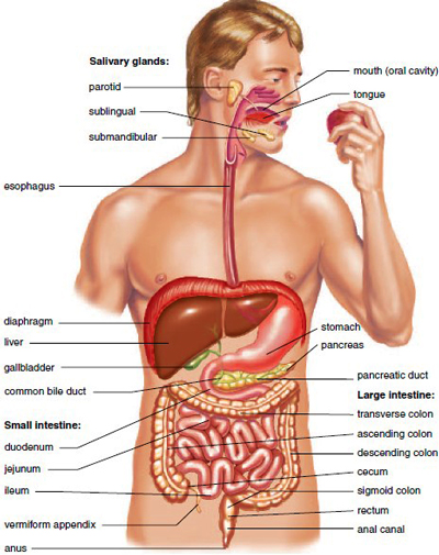 Parts Of The Digestive System | xowapy